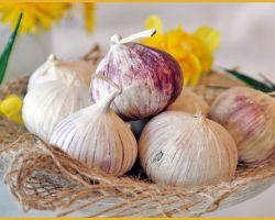 Польза и вред чеснока для здоровья организма