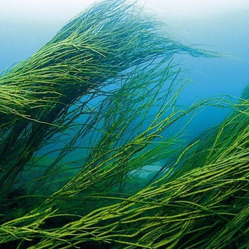 водоросли спирулины