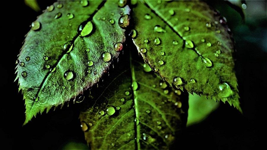 роса на зеленых листьях